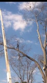 grays tree service man in tree